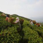 भारतद्वारा नेपालको प्रमुख निर्यात वस्तु चिया निकासीमा अवरोध